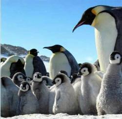 March of the Penguins (The Emperor's Journey, La Marche de l'empereur)
